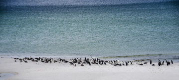 COLONIE DE PINGOUIN SUR LA PLAGE Images libres de droits