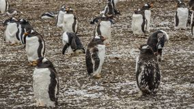 Colonie de pingouins de Gentoo sur les îles Malouines photo stock
