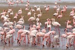 Colonie de Rosy Flamingo dans la baie Namibie de Walvis Photos stock
