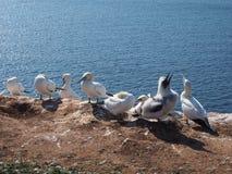 Colonie del pájaro en la isla costera Helgoland Fotos de archivo libres de regalías