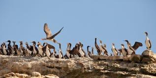 Colonie des cormorans de Neotropical Photo libre de droits