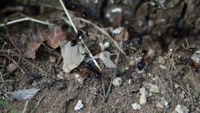 Colonie des fourmis banque de vidéos