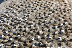 Colonie des fous de Bassan à la plage de Muriwai Photographie stock