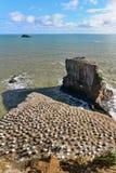Colonie des fous de Bassan à la plage de Muriwai Image stock