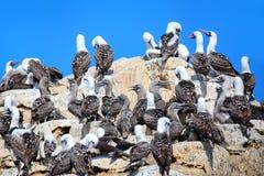Colonie des idiots péruviens dans la réservation d'îles de Ballestas au Pérou Photos stock