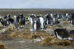Colonie des pingouins de Gentoo (Pygoscelis Papouasie) au point volontaire, Image libre de droits