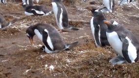 Colonie des pingouins de Gentoo (Pygoscelis Papouasie) au point volontaire banque de vidéos