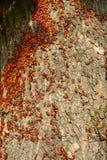Colonie des pyromanes de scarabées sur l'écorce de l'arbre Photo libre de droits