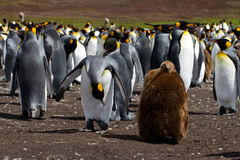 Colonie du Roi Penguin avec le poussin photos stock