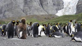 Colonie du Roi Penguins banque de vidéos