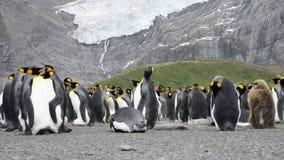 Colonie du Roi Penguins clips vidéos