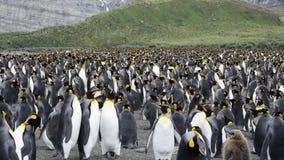 Colonie du Roi Penguins sur la plage banque de vidéos