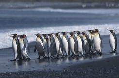 Colonie du sud BRITANNIQUE de Georgia Island du Roi Penguins marchant sur la vue de côté de plage Photographie stock