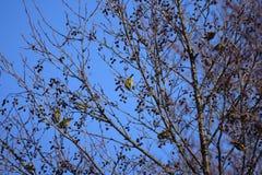 Colonie jaune des oiseaux sur l'arbre en hiver Image libre de droits