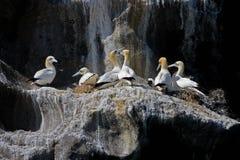 Colonie nordique de gannet, îles de Westmen, Islande Images libres de droits