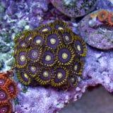Colonie pourpre de polype de Zoanthid Image libre de droits
