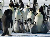 Colonie, troupeau - pingouins d'empereur en Antarctique plan global photos stock