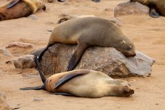 Colonies Brown fur seal,Cape cros, Namibia Royalty Free Stock Photography