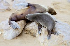 Colonies Brown fur seal,Cape cros, Namibia Stock Photography