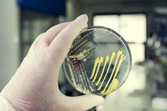 Colonies of different bacteria and mold fungi grown on Petri dish with nutrient agar. Close-up view. Hand in white glove holding plate with nutrient medium in royalty free stock images