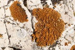 Colonies oranges et blanches de mousse sur la roche blanche Images stock