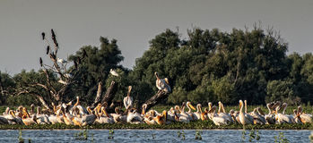 Colonies of pelicans Royalty Free Stock Images