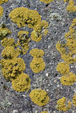 Colonies of a yellow lichen Stock Photography