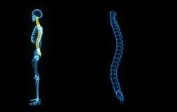 Colonna vertebrale illustrazione di stock