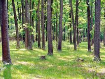 Colonne delle latifoglie alte in mezzo alla foresta Fotografia Stock Libera da Diritti