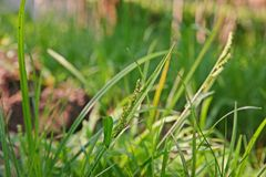 Colonum del Echinochloa, mala hierba de la hierba en caña de azúcar Foto de archivo