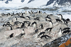 Colony of Adelie penguins. Royalty Free Stock Images