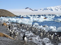 Colony of Adelie Penguins. Brown Bluff. Antarctic Peninsula stock image