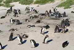 A colony of African Jackass Penguins Stock Photography