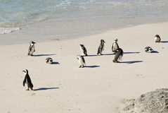 A colony of African Jackass Penguins Stock Photos