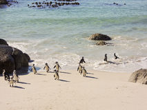 A colony of African Jackass Penguins Royalty Free Stock Images