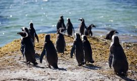 Colony African penguin Spheniscus demersus on Boulders Beach near Cape Town South Africa relaxing in the sun on stones royalty free stock image