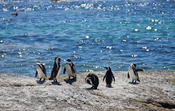 Colony African penguin ,Spheniscus demersus, on Boulders Beach near Cape Town South Africa relaxing in the sun on stones stock photo