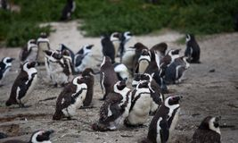 Colony African penguin Spheniscus demersus on Boulders Beach near Cape Town South Africa. stock images