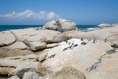 Colony of african penguins Stock Image