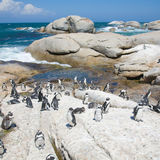 Colony of african penguins Stock Photos