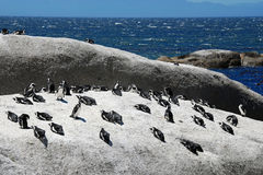 Colony of african penguins Royalty Free Stock Photo
