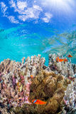 Colony of Anemonefish Royalty Free Stock Photo