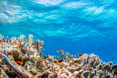 Colony of Anemonefish Stock Photo
