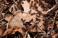 Colony of ants Royalty Free Stock Image