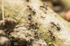 Colony Of Ants Searching For Food Stock Photo