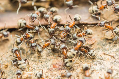 Colony Of Ants Searching For Food Stock Photos