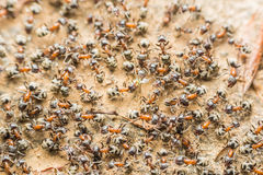 Colony Of Ants Searching For Food Royalty Free Stock Photo