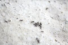 Industrious ants Royalty Free Stock Image