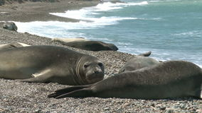 Colony of Argentinean fur seals stock video