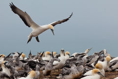 Colony of Australasian Gannets, Morus serrator Royalty Free Stock Images